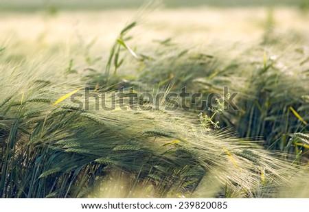 Field of weat on wind - stock photo