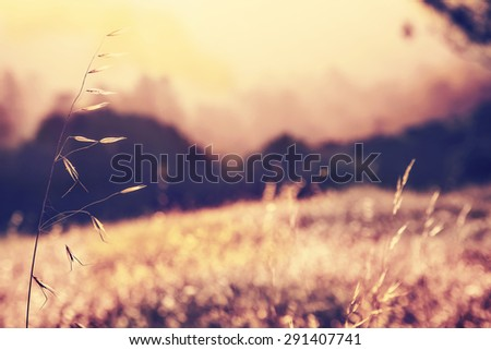 Field of weat on wind, Wheat at sunset, fall grass in the sun - stock photo