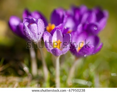 Field of wet purple crocus flowers