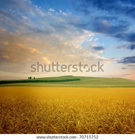 field of wheat - stock photo