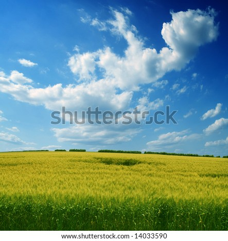 field of wheat and dark blue sky