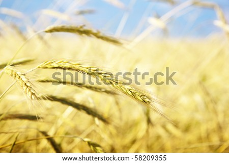 field of wheat and sunny day