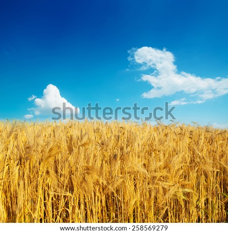 field of wheat blue sky with clouds - stock photo