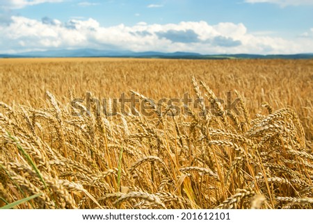 Field of wheat ears under blue sky, selective focus
