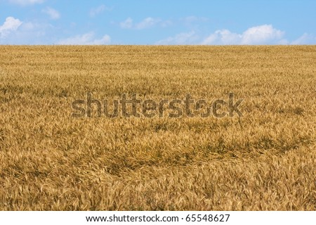 Field of wheat grain on hill with sky landscape