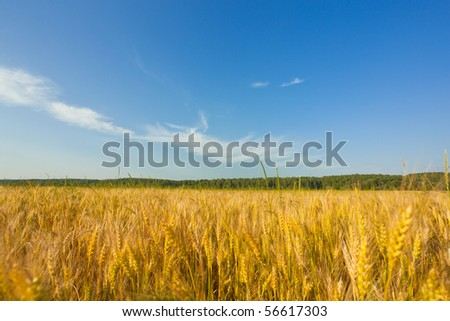 Field of wheat in a sunny day - stock photo