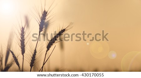 Field of wheat in harvest at sunset with lens flare and warm sunshine