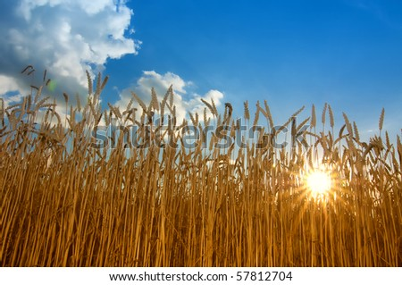 Field of Wheat in the bright light of a summer afternoon. - stock photo