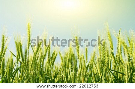 field of wheat on a background sunrise - stock photo