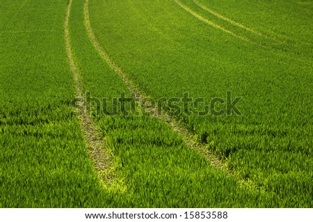 field of wheat on the blade