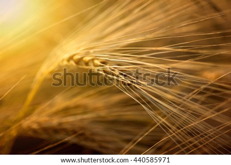 Field of wheat. Plant, nature, rye. Crop on farm. Stem with seed for cereal bread. Agriculture harvest growth. Yellow golden rural summer landscape. Ripe food. - stock photo