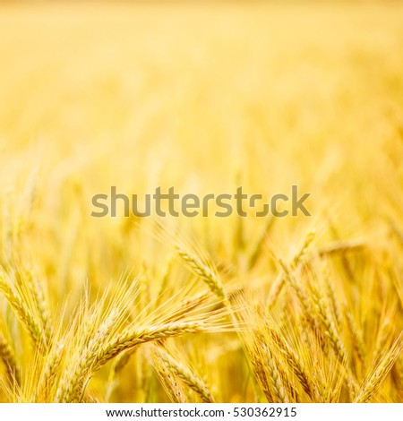 Field of wheat. Plant, nature, rye. Crop on farm. Stem with seed for cereal bread. Agriculture harvest growth. Yellow golden rural summer landscape. Ripe food.
