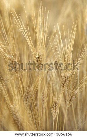Field of wheat plants growing in Tuscany, Italy.
