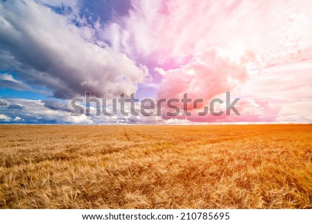 Field of wheat ready to be harvested with beautiful cloudy blue sky background - stock photo