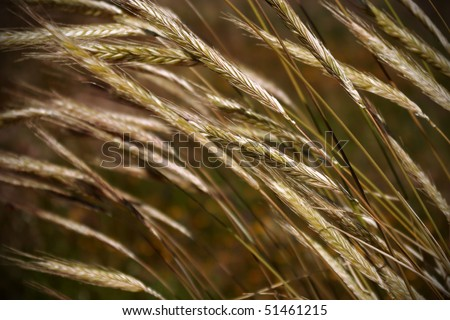 Field of wheat spikes waving in the wind