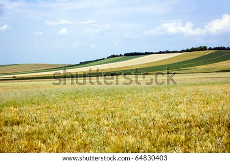 field of wheat under blue sky - stock photo