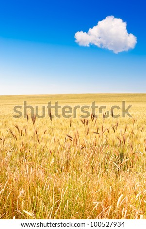 Field of wheat with blue sky and cloud
