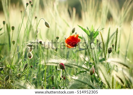 Field of wheat with poppies/ poppy flowers in the morning/evening light. Natural outdoor shot and light.