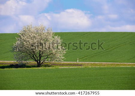 Field of wheet with tree in bloom. White cherry flower on tree in rural countryside. Beautiful countryside background. Spring background. - stock photo
