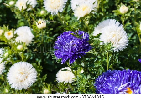Field of white and yellow asters - stock photo