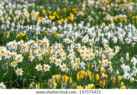 Field of white and yellow daffodil flowers - stock photo