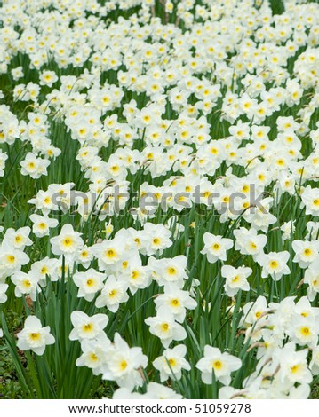 Field of white colors. Spring primroses of white color with yellow pestles