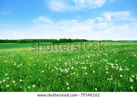 Field of white dandelions under blue sky. - stock photo