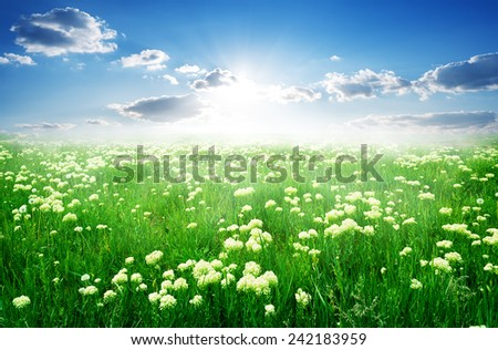 Field of white flowers and green grass in spring - stock photo