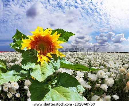 Field of white garden buttercups ranunculus asiaticus, among which grow the large sunflower - stock photo