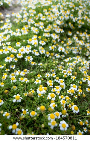 Field of Wild Camomile (Matricaria recutita) Flowers on Gozo Island, Malta - stock photo