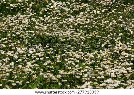 Field of wild camomiles flowers in the forest - stock photo