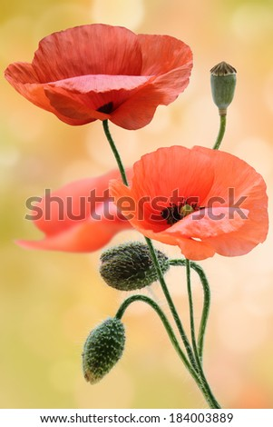 Field of wild poppy flowers  - stock photo
