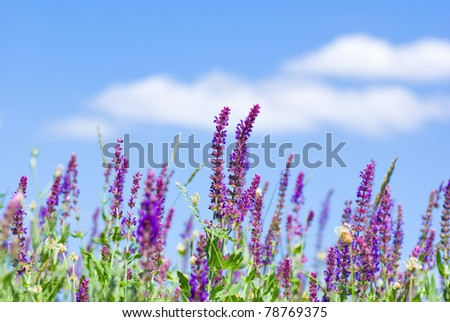 Field of wild violet flowers against blue sky in summer. - stock photo