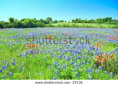 Field of Wildflowers: Bluebonnets and Indian Paintbrush - stock photo
