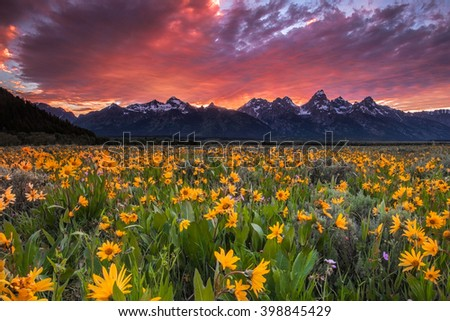 Field of wildflowers in Wyoming's Grand Teton National Park under a fiery sunset. The wildflowers are arrowleaf balsamroot. Fields of these can be found in for a few weeks in June.