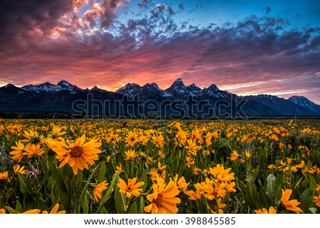 Field of wildflowers in Wyoming's Grand Teton National Park under a fiery sunset. The wildflowers are arrowleaf balsamroot. Fields of these can be found in for a few weeks in June. - stock photo