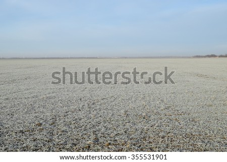 Field of winter wheat. Hoarfrost on foliage of sprouts of wheat. - stock photo