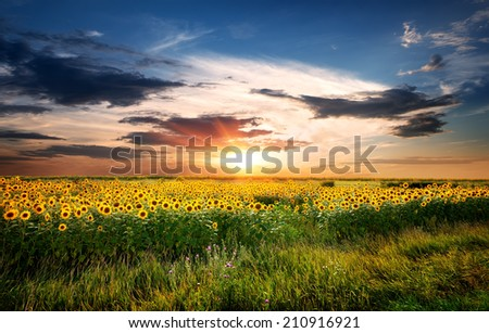 Field of yellow blossoming sunflowers at sunrise - stock photo