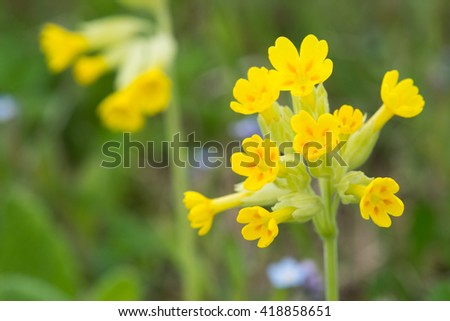 Field of yellow Cowslip flowers or Primula veris. Shallow depth of field.