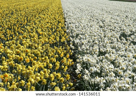 Field of yellow daffodils and field of white narcissus bordering each other