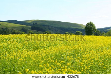 Field of yellow flowers in the Scottish Borders, UK - stock photo