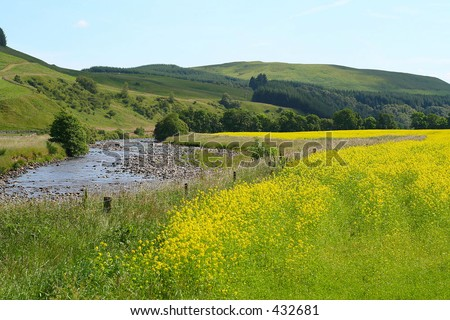 Field of yellow flowers next to a river in the Scottish Borders, UK - stock photo