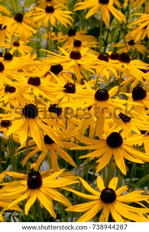 Field yellow flowers orange coneflower called stock photo royalty field of yellow flowers of orange coneflower also called rudbeckia perennial black eyed susan mightylinksfo