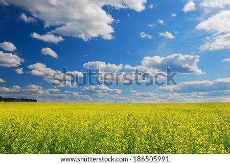 Field of yellow oilseed rape,  summertime  - stock photo