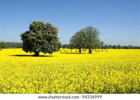 Field of yellow Rapeseed - stock photo