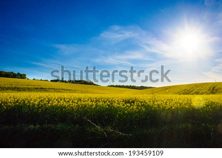 field of yellow rapeseed against the blue sky - stock photo