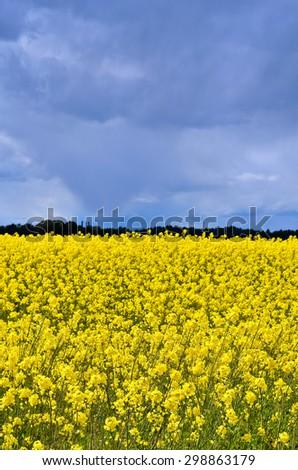 Field of yellow rapeseed, sky dark blue of thunderstorm - stock photo