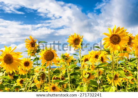 Field of yellow sunflowers against the blue sky. Beautiful summer landscape - stock photo
