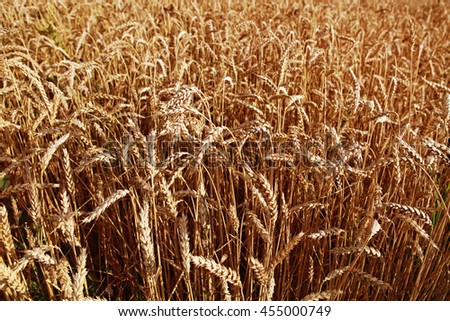 Field of yellow wheat at sunny day, harvesting time - stock photo