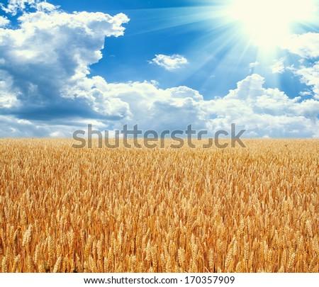Field of yellow wheat in sun rays - stock photo
